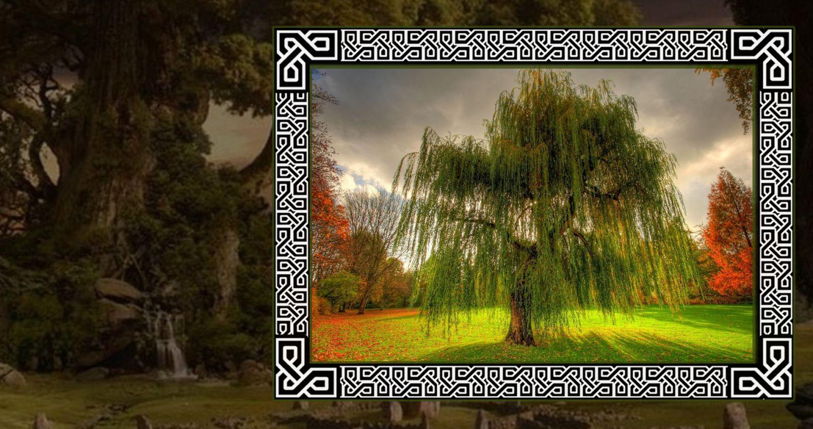 Романтичная ива в гороскопе друидов
