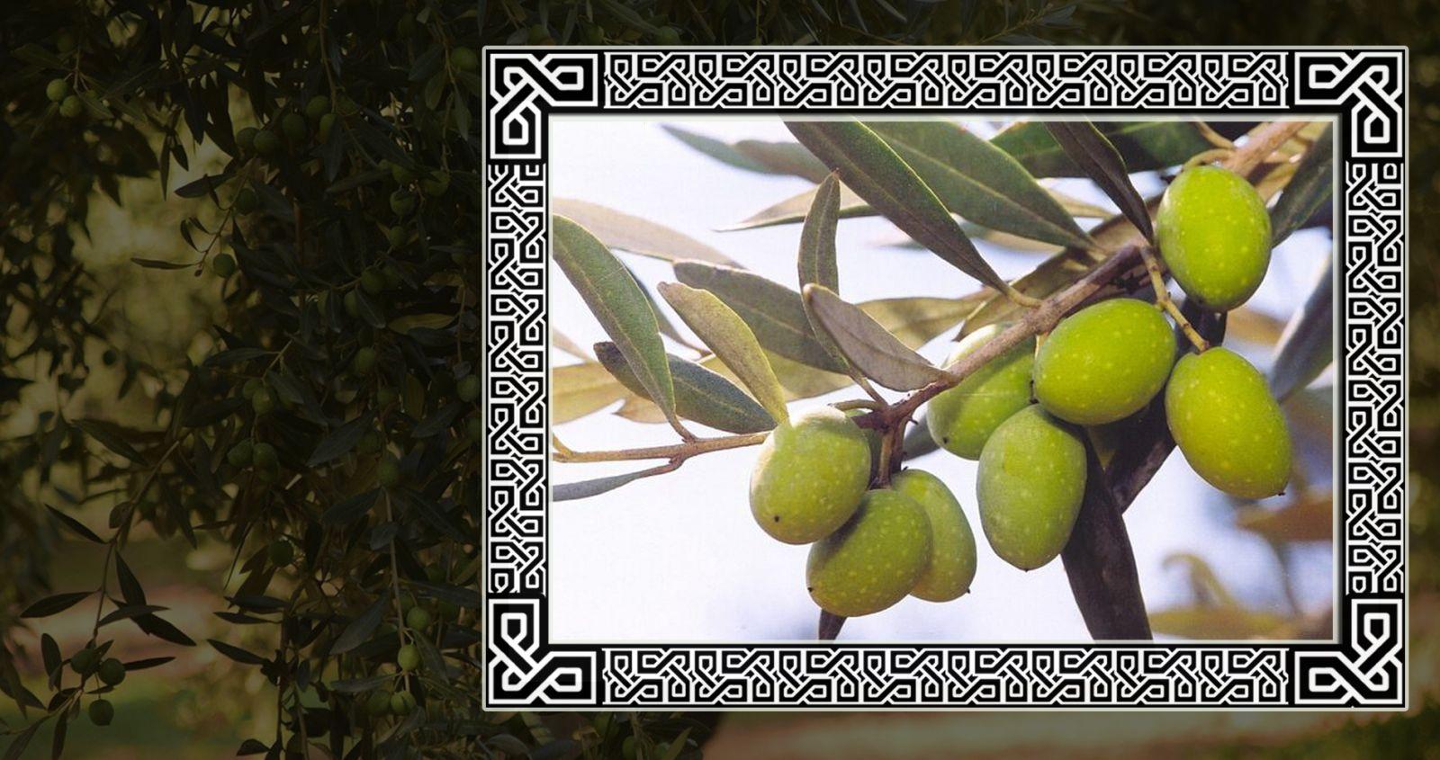 Уравновешенная маслина в кельтском гороскопе