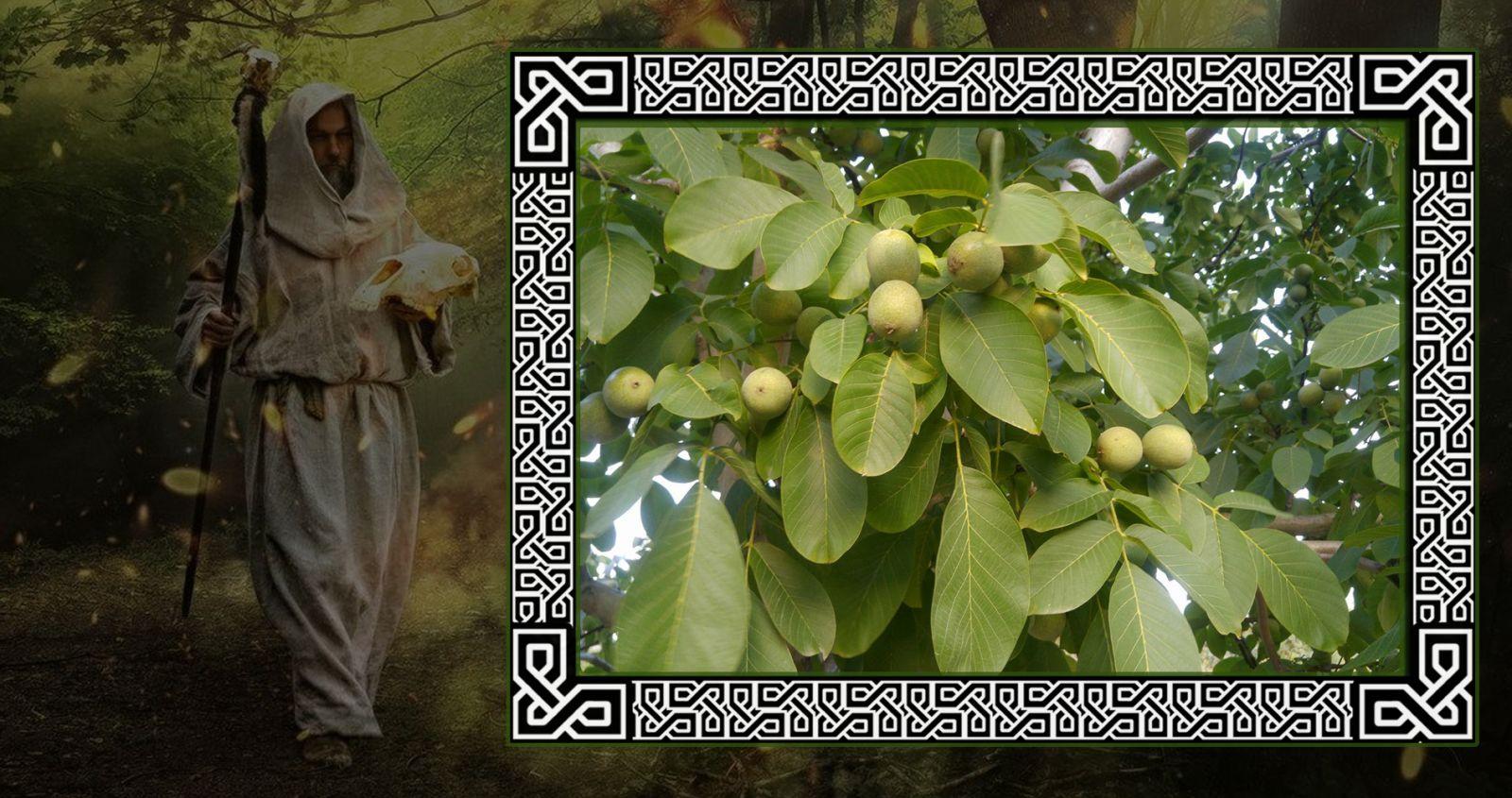 Противоречивый орех в гороскопе друидов