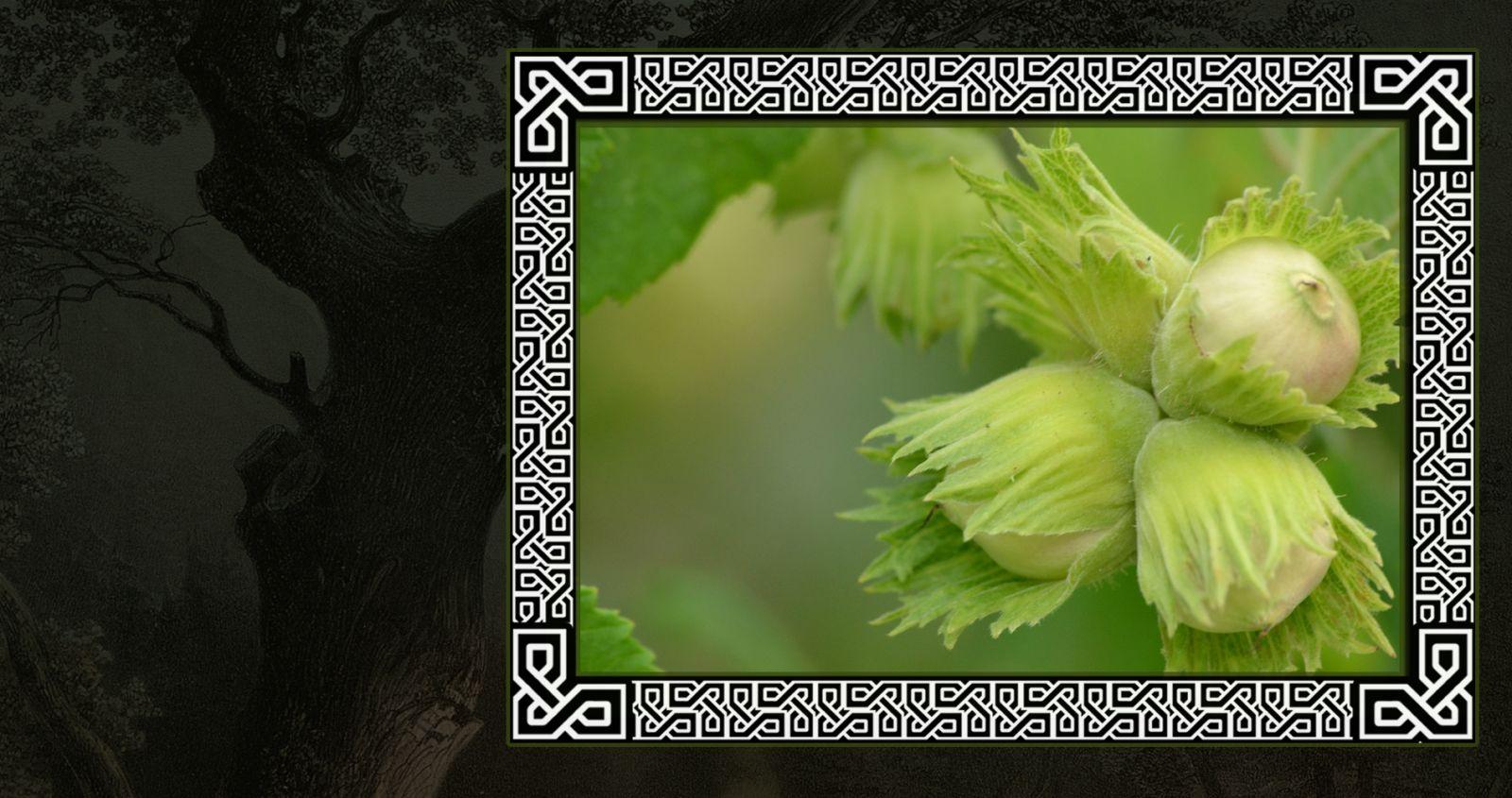 Скрытный орешник в гороскопе друидов