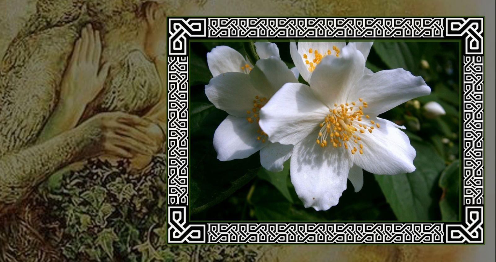 Притягательный жасмин в гороскопе друидов